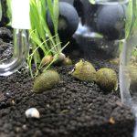貝に付着した黒髭苔を撃退する方法
